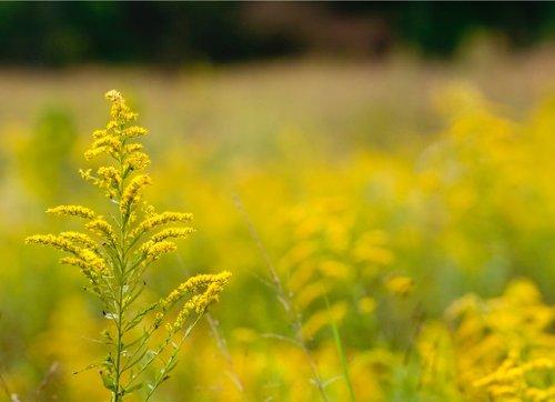 Ragweed vs. Goldenrod: A Case of Mistaken Identities