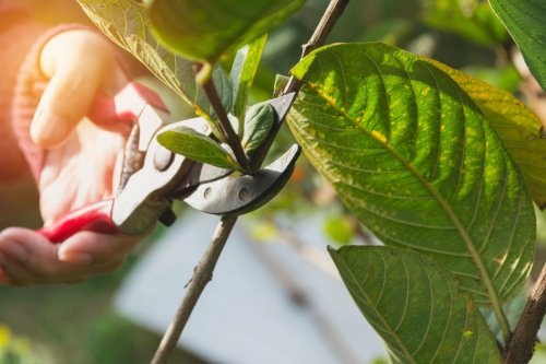 The Pruning Shears for Lawn and Garden Care