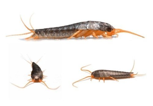 How To: Get Rid of Silverfish