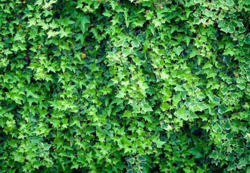 How To: Kill Ivy
