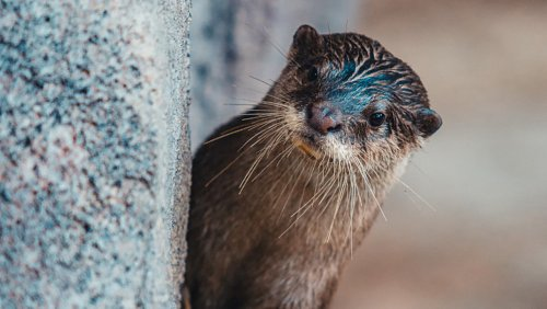 Beloved otter crazy about ice cubes and clams dies, leaving NC aquarium 'heartbroken'