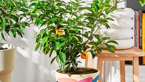 This Citrus Tree Is An Apartment Game Changer