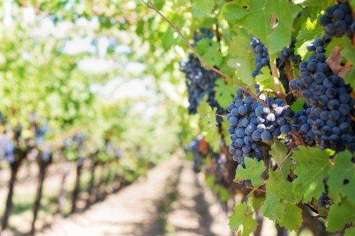 Emmanuel Macron en voudrait-il à Bordeaux, devancée par Dijon pour accueillir « l'ONU du vin » …