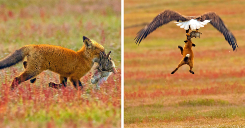 Photographer Shoots Epic Battle Between Fox And Eagle Over Rabbit, And It Gets More And More Epic With Each Photo