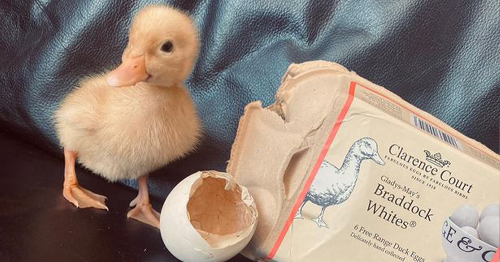 Woman Hatches Duck From Egg Bought From A Supermarket
