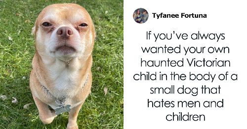 Totally Honest Adoption Ad For A 'Demonic' Chihuahua Who Hates Kids, Men, And Pets Goes Viral