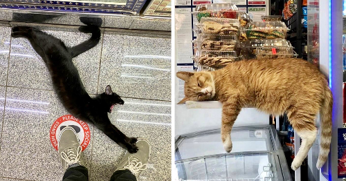 This Twitter Account Collects Photos Of Cats In Small Shops Looking Like They Own The Place (141 New Pics)