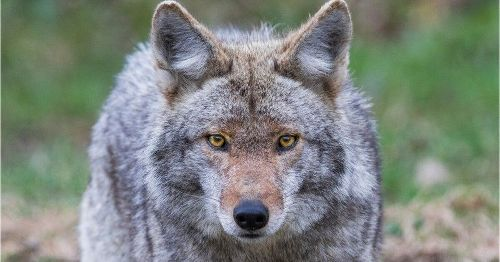 Coyote that attacked 5 people in San Francisco area finally caught