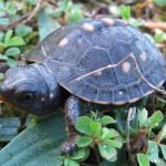 Educating to help save the Eastern Box Turtle and its habitat in Central Virginia