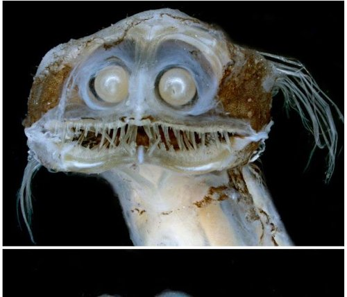 Meet Charles The Deep Sea Telescope Fish That Looks Like An Alien