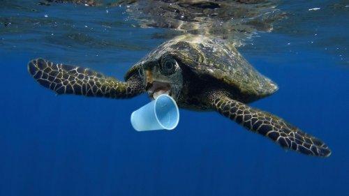 Plastik im Meer: Junge Meeresschildkröten besonders gefährdet | BR.de
