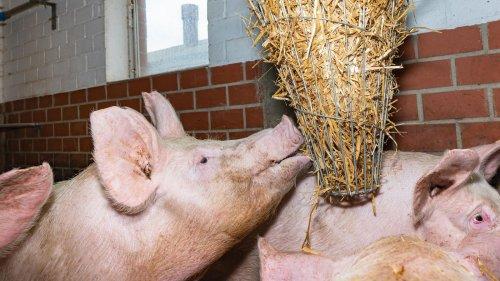 """Mehr Tierwohl: Schweine bekommen jetzt """"Spielzeug"""""""
