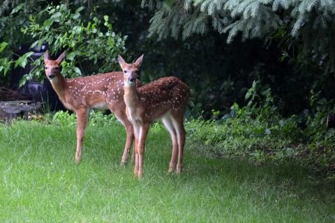 How bad is COVID? Even the deer test positive in Michigan. (Don't be alarmed)