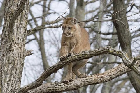 Cougar sightings rise in Upper Peninsula after years of skepticism