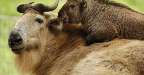 San Diego Zoo's golden takin calf offers glimpse of a seldom-seen species
