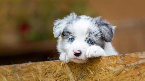 Diese Hunderassen erobern mit ihren blauen Augen unsere Herzen