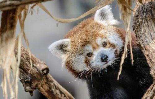 Minnesota Zoo's red panda, Min, dies at age of 10