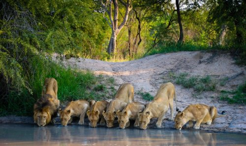 How Impressive Is This Tiny Turtle Chasing Two Fully Grown Lions Away From Its Watering Hole?