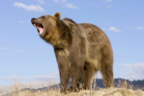 Alaska Man Survives Nasty Mauling By Giant Grizzly Bear After Having His Head In Its Mouth, Nearly Bleeding Out