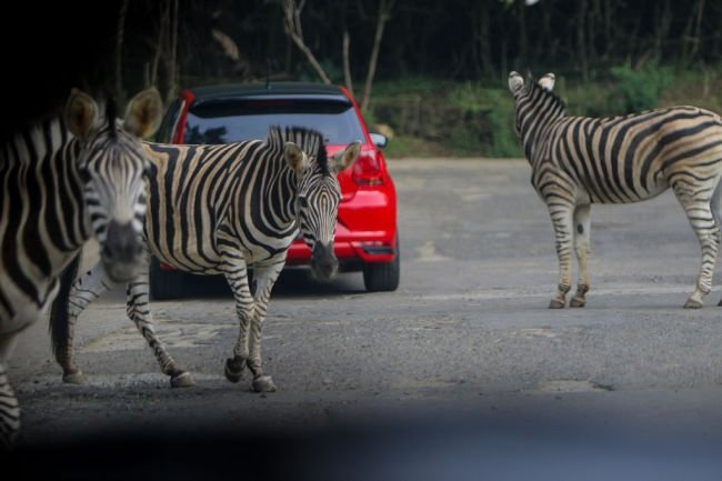 D.C. Congresswoman Denies Responsibility For Setting Rogue Zebras Free As Hunt Continues