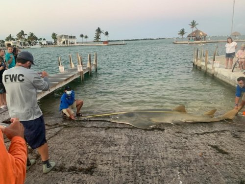16-Foot Sawfish Becomes Largest One Ever Measured After It Washed Up On A Florida Beach