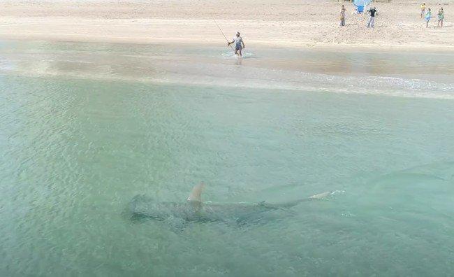 Footage Of A Massive Hammerhead Shark Hunting Blacktip Sharks Just Feet Off The Beach