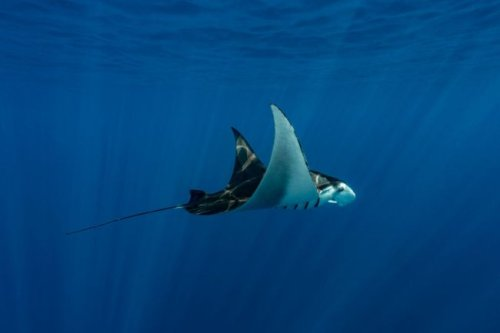 WATCH: These Giant Eagle Rays Launching Themselves Out Of The Ocean Is Mind Blowing