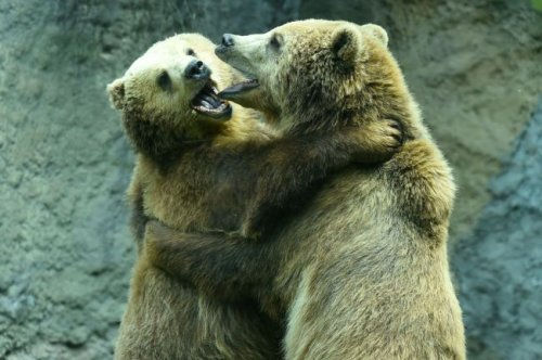 WATCH: Two Massive Brown Bears Fight Intense Brawl Over Territory In Finland