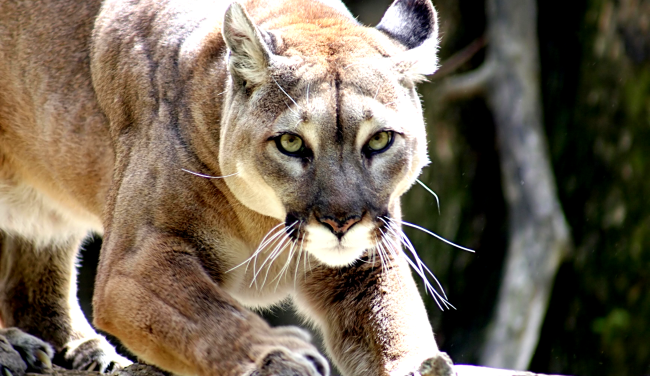 'Hero' Mom Fights Off Mountain Lion By Punching It After It Attacks Her Son