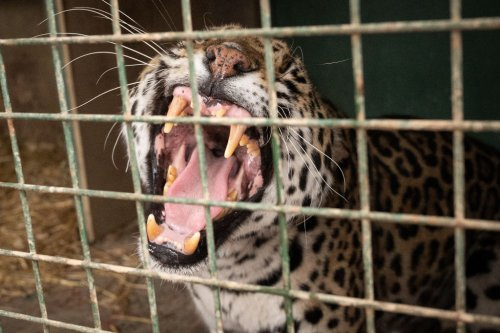 Kid Gives Hilarious Interview After Man Sticks Hand In Jaguar's Cage