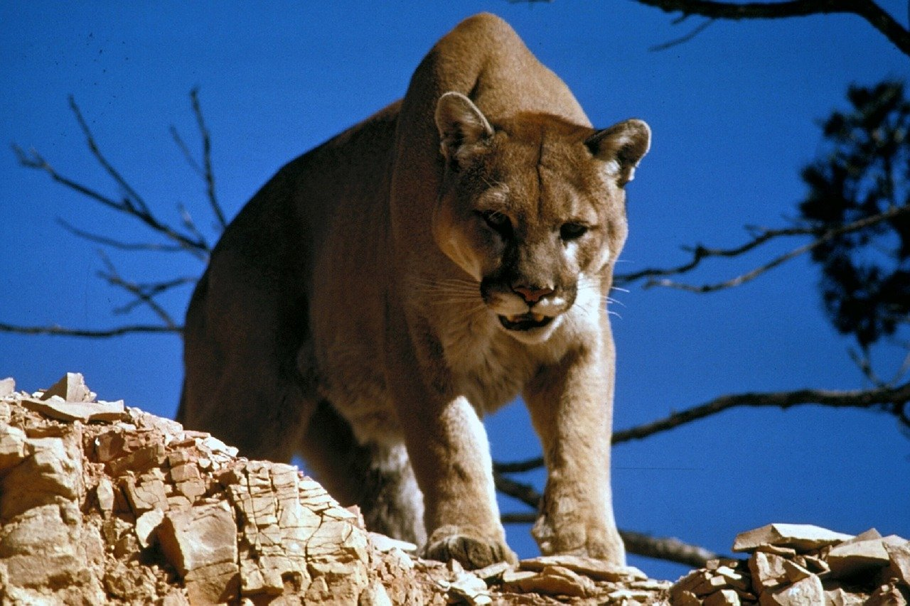 Utah Man Goes Viral For His Terrifying Six-Minute-Long Showdown With A Cougar While On A Hike - BroBible