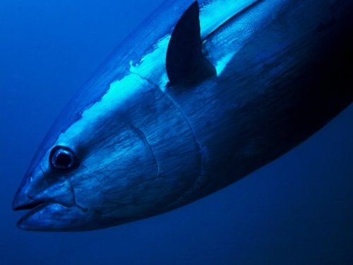 Truck-Sized Bluefin Tuna Weighing Almost 1,000 Pounds Caught In North Carolina Is A Beast