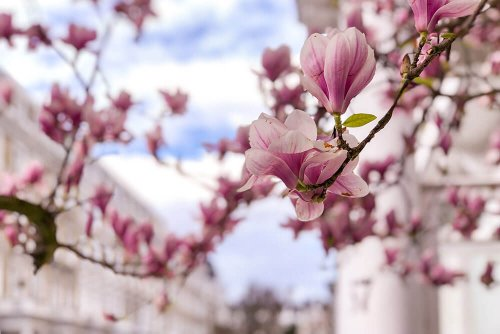Where to See Magnolia and Cherry Blossom in London (Printable Guide and Map)