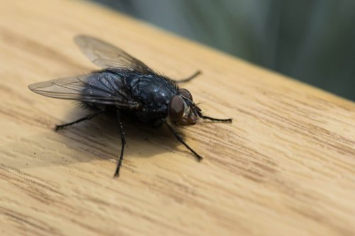 Keep flies from entering your home with genius 1p coin, herbs and oil tricks