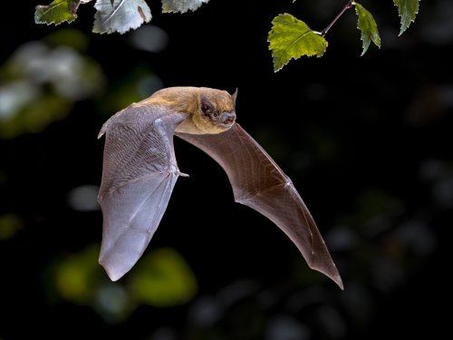 Grusel-Fund in Großbritannien: Bei Fledermäusen wurde ein neues Coronavirus entdeckt