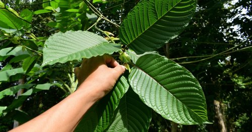 Kratom: What science is discovering about the risks and benefits of a controversial herb