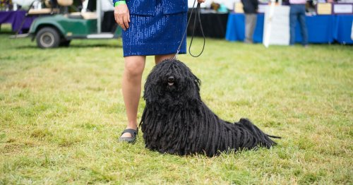 An Inside Look At The Westminster Kennel Club Dog Show