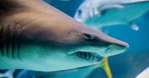Why shark teeth are a time machine