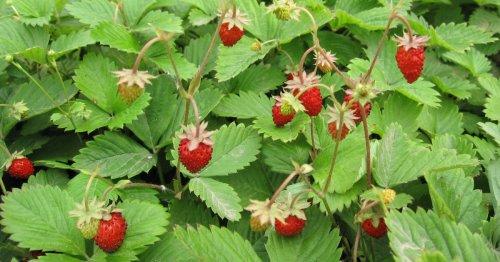 Look: Origin of strawberries discovery reveals new wild species