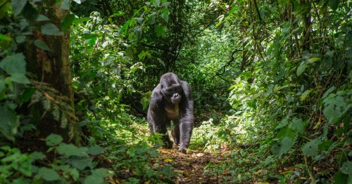 Scientists decode how gorillas talk to each other — watch