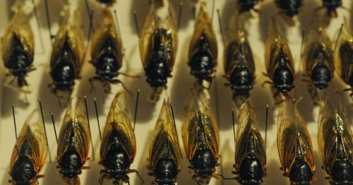 Can we all calm down about the damn cicadas?