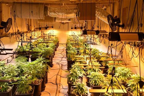 More than €500,000 worth of cannabis seized by gardaí in Roscommon area