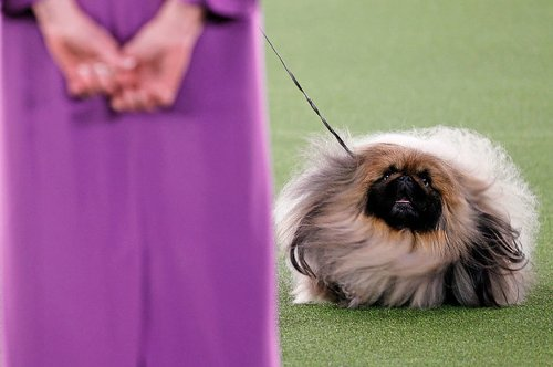 The Winner Of The Westminster Dog Show Was This Thing