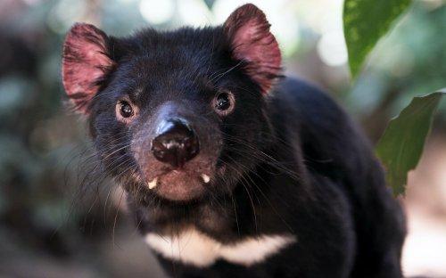 Tasmanian devil joeys born on mainland Australia for first time in 3,000 years