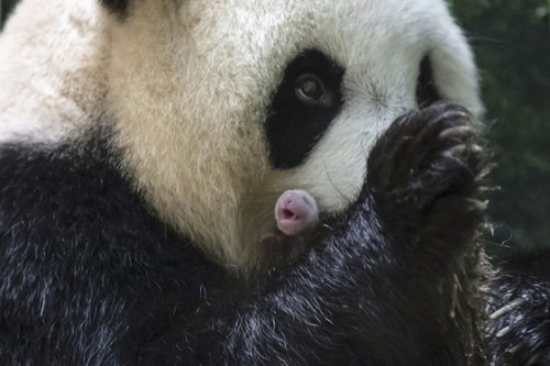 Gallery: Panda Mom Dotes on Twin Cubs