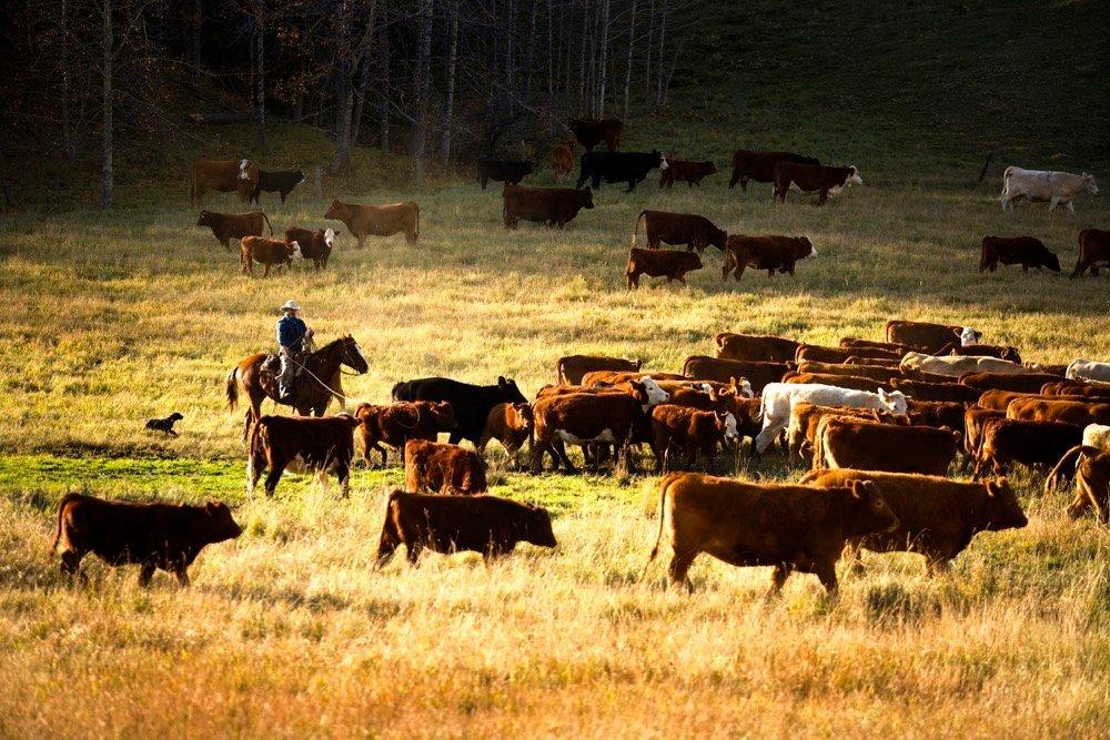 Canadian Cattlemen - cover