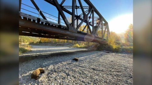 Train collision kills mother grizzly and three cubs (BC)