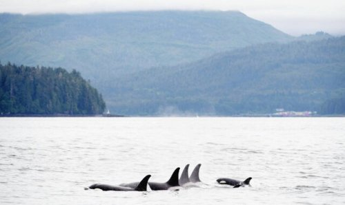 Harassers of resident orcas could face $1M fine, jail time - BC News