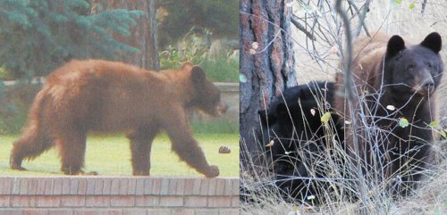 West Kelowna woman pleads for life of bear habituated to humans