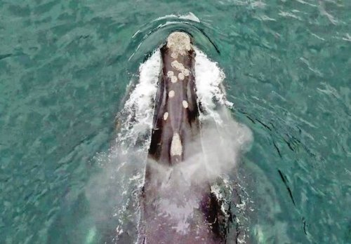 North Pacific right whale spotted off Haida Gwaii only the fourth in Canadian waters in past 70 years (BC)